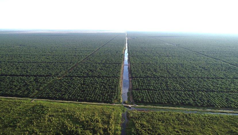 Commercial Palm Oil Plantation, Central Kalimantan, January 2019: Kaiwen Yu